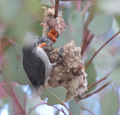 Mistletoebird  ( feeding three )