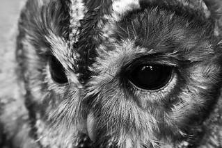 Owl, Scotland 2008