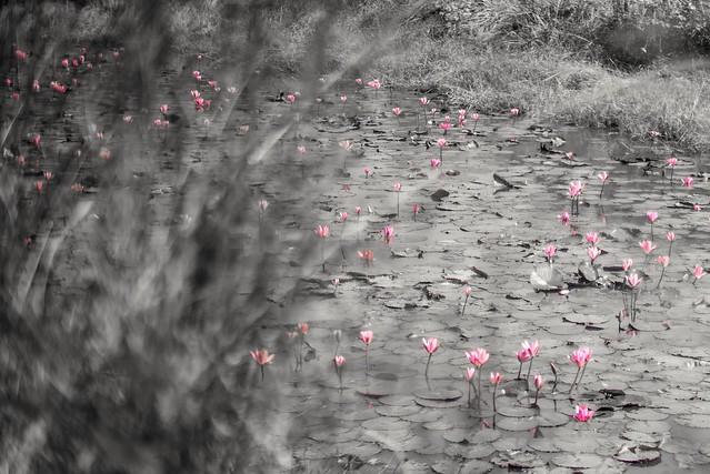 Lilly pad lotus