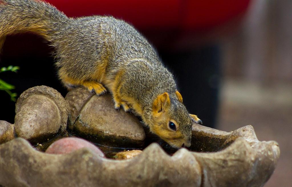 Fox Squirrel getting a sip from the birdbath