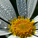 Morning Dew by Chrissie2003