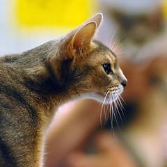 Abyssinian Cat Monterey