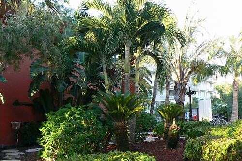 palm tree landscaping yard  what type of palm trees are these