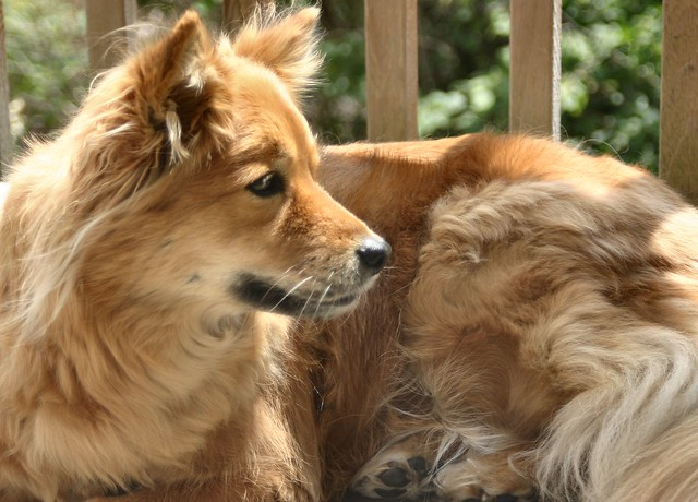 Fox Looking Dogs For Sale