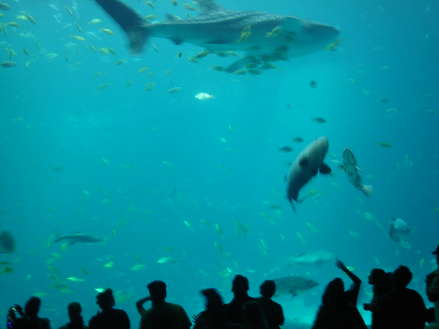 Atlanta Aquarium Whale Shark Flickr Photo Sharing