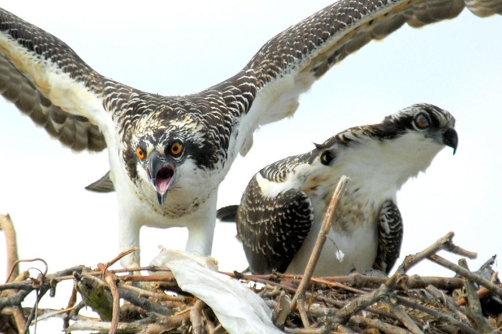 Osprey Closeup