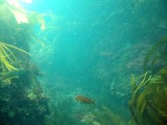 coral reef(1.0), algae(1.0), seaweed(1.0), macrocystis pyrifera(1.0), marine biology(1.0), underwater(1.0), reef(1.0), kelp(1.0),