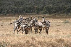 adventure(0.0), mustang horse(0.0), animal(1.0), prairie(1.0), zebra(1.0), plain(1.0), mammal(1.0), herd(1.0), fauna(1.0), savanna(1.0), grassland(1.0), safari(1.0), wildlife(1.0),