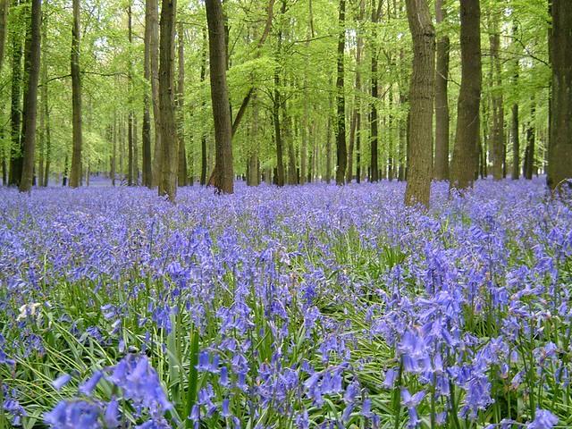 Bluebell Wood, Fujifilm FinePix F610