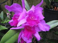 gladiolus(0.0), cattleya trianae(0.0), cattleya labiata(1.0), flower(1.0), plant(1.0), laelia(1.0), flora(1.0), pink(1.0),