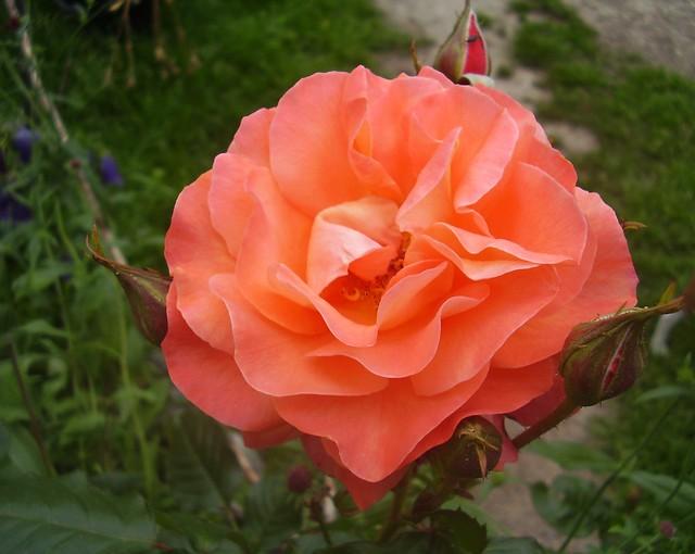 rose 39 westerland 39 rosa floribunda group flickr. Black Bedroom Furniture Sets. Home Design Ideas