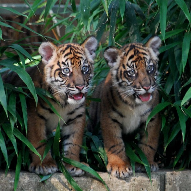 Two of a kind - Sumatran Tiger Cubs @ Washington DC / US National Zoo