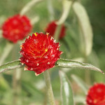 Red Spiny Flower
