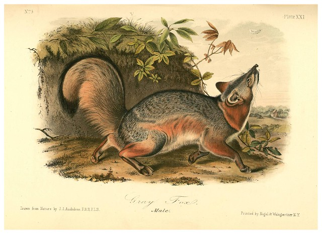 009- Zorro gris-The quadrupeds of North América-Vol1- 1849- J.J. Audubon-Universite de Strasbourg