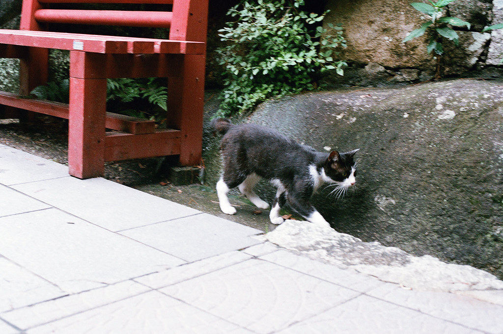貓 千光寺 尾道 おのみち Onomichi, Hiroshima 2015/08/30 一隻貓匆匆走過。  Nikon FM2 / 50mm AGFA VISTAPlus ISO400 Photo by Toomore