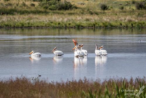 us colorado unitedstates july walden 2015 pelecanuserythrorhynchos whitepelicans arapahonwr