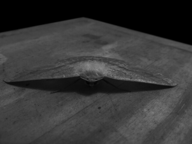 camoflauge moth on wooden box (2015)