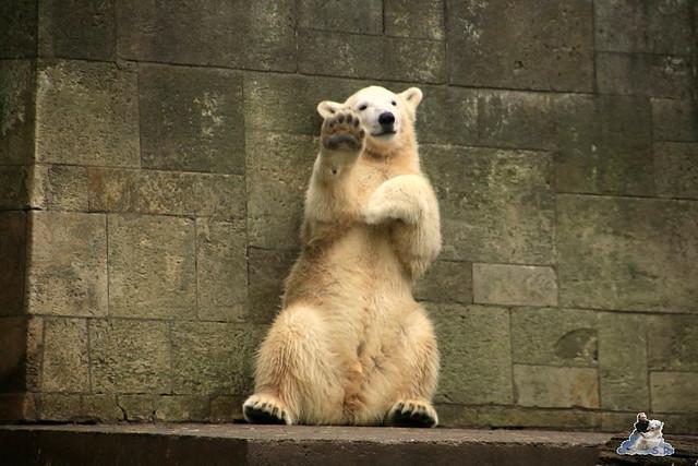 Eisbär Fiete im Zoo Rostock 17.10.2015  023