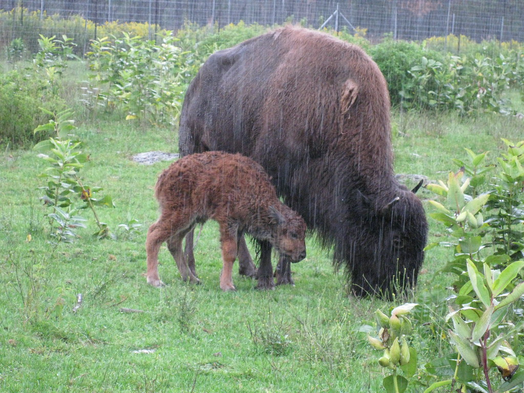 Bison and her newborn calf