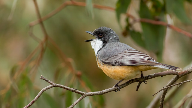 Rufous Whistler in song (Pachycephala rufiventris) # 2, Jerrabomberra Wetlands, ACT.