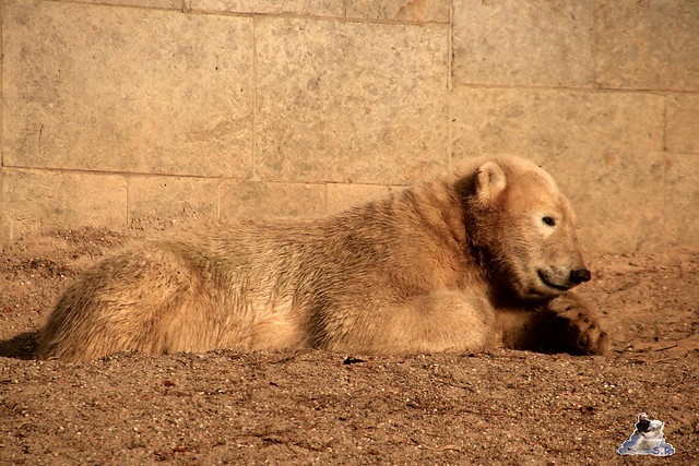 Eisbär Fiete im Zoo Rostock 31.10.2015 Teil 1  0166