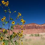 Yellow flowers in Utah