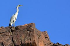 Grey Heron @ Wadi Shoka, Ras Al Khaimah, UAE
