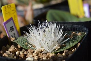 DSC_1619 Massonia Pygmaea SE Leliefontein マッソニア ピグマエア