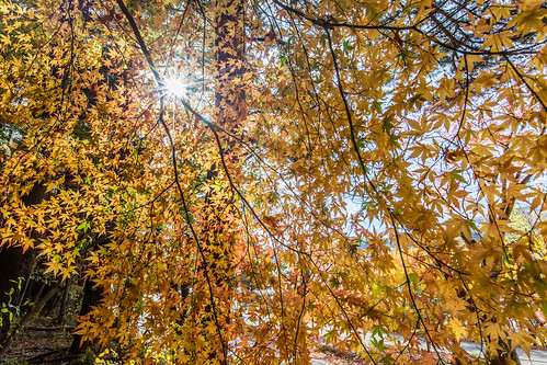 travel japan canon day sunny 日本 sunburst 紅葉 太陽 sunflare 楓葉 河口湖 もみじ 1635mm redmaples 5dmarkiii 日芒 lakekawaguji
