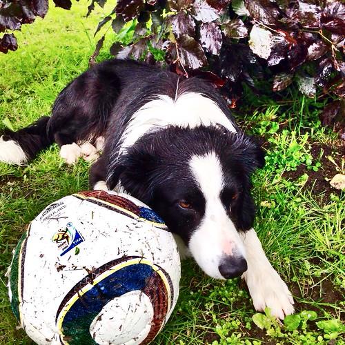 norway bordercollie balder rimstadgård wwoofingnorway footballingdog