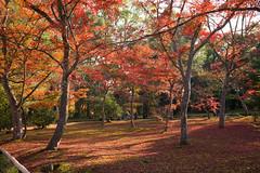 Kinkaku-ji red maples