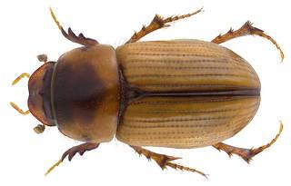 Subrinus vitellinus (Klug, 1845) Syn.: Aphodius (Nialus) vitellinus Klug, 1845