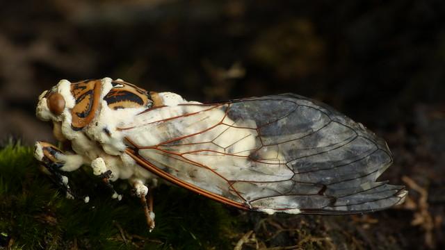 Cordyceps bassiana