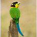 Long Tailed Broadbill by Aravind Venkatraman