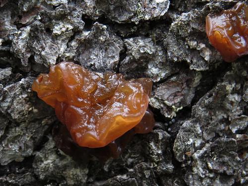 Эксидия сахарная (Exidia saccharina) Photo by Kari Pihlaviita on Flickr Автор фото: Kari Pihlaviita