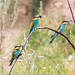 Bee eaters by garmoncheg