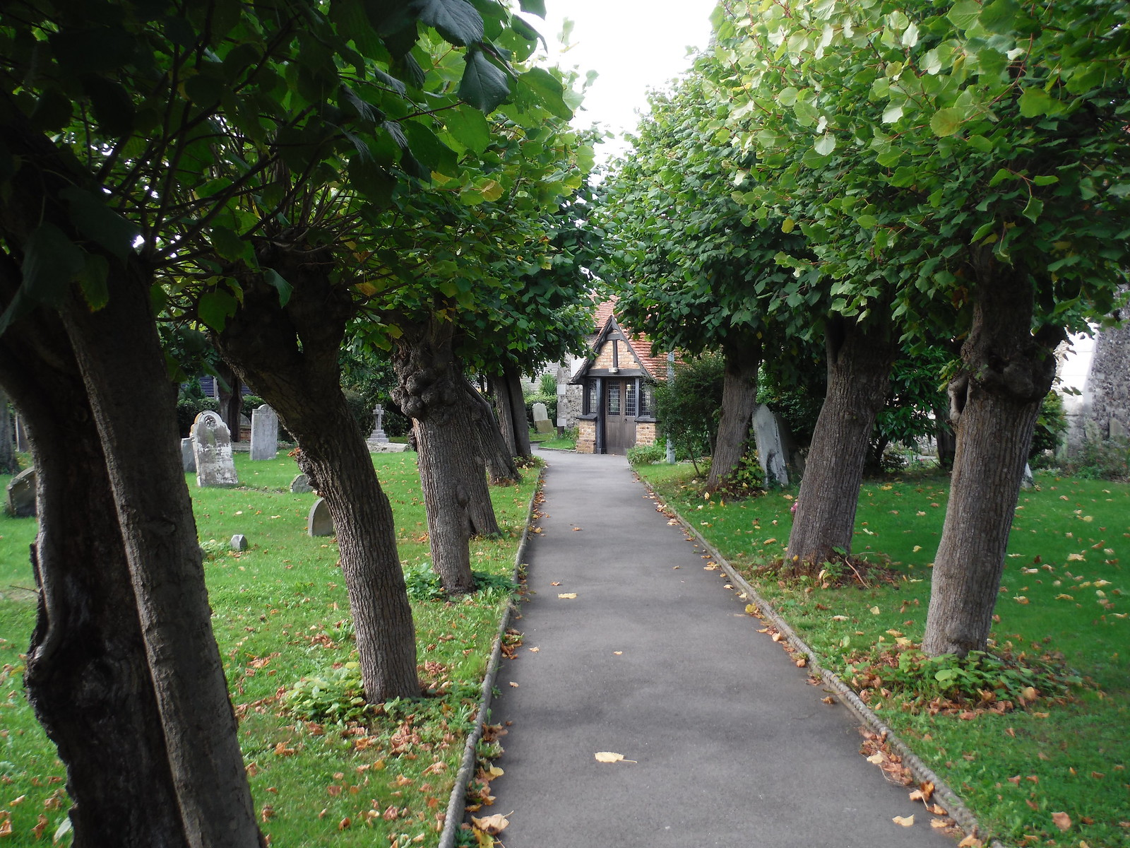 Polled Lime Trees in churchyard, Horndon-on-the-Hill SWC Walk 114 Laindon Circular