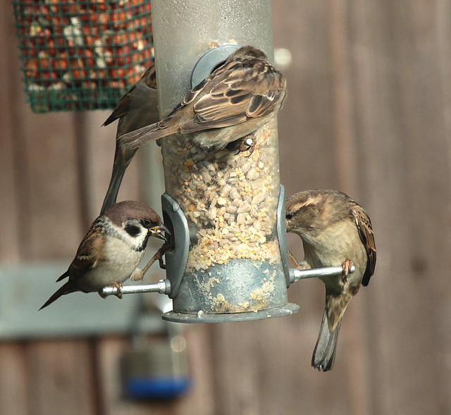 Sparrows IMG_3506