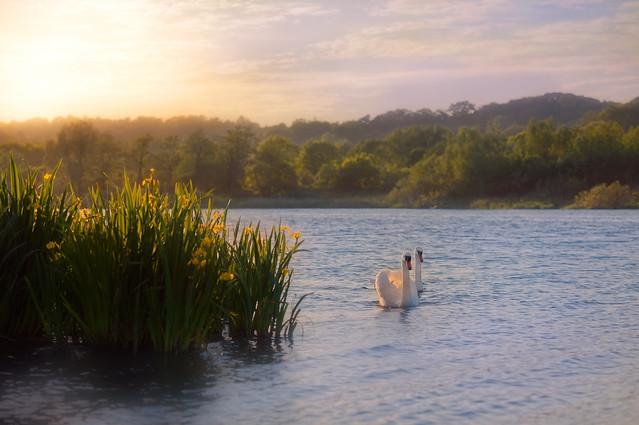 Swans and Wild Iris'