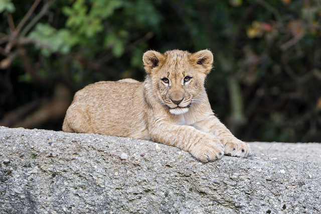Lion cub on the stone