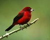 Crimson backed tanager, male