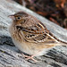 Grasshopper Sparrow by Don T2013