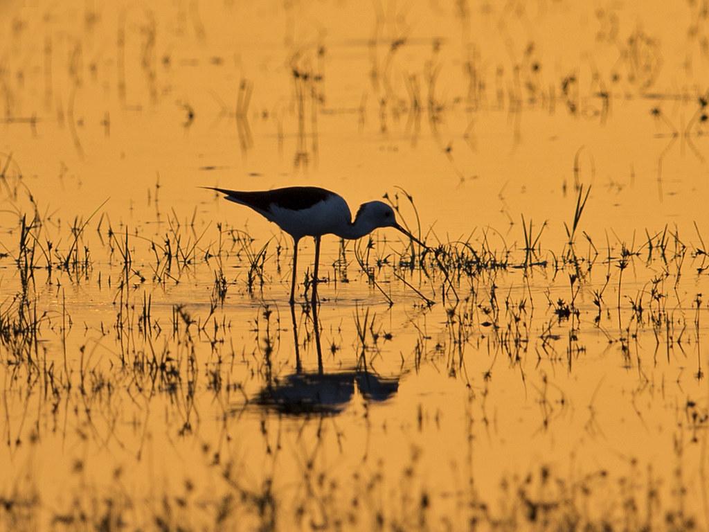 Marsh Sandpiper  Yala,Sri Lanka