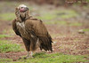 Lappet-faced Vulture (Torgos tracheliotos)