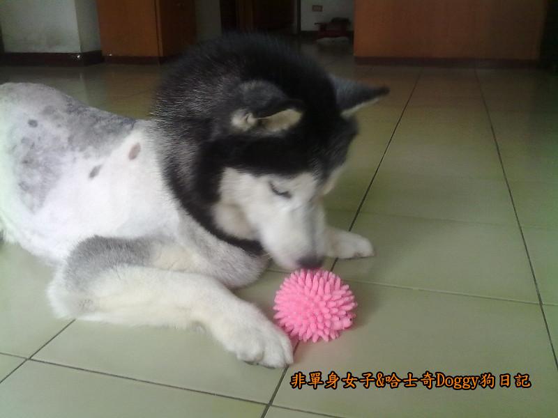 2012哈士奇doggy寵物玩具02刺蝟