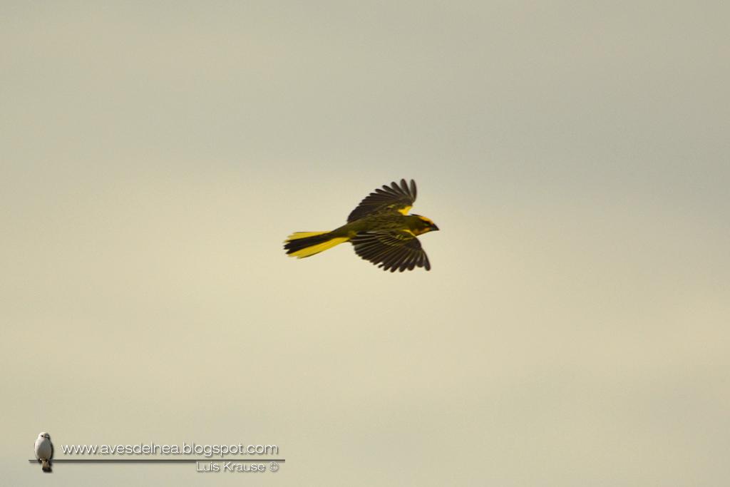 Cardenal amarillo (Yellow Cardinal) Gubernatrix cristata