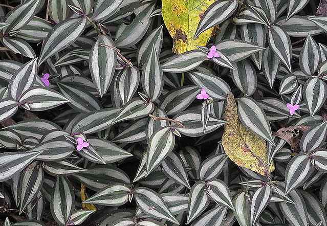 Tradescantia zebrina definition meaning for Tradescantia zebrina