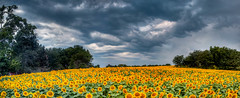 Grintners Farm Sunflowers - Panorama