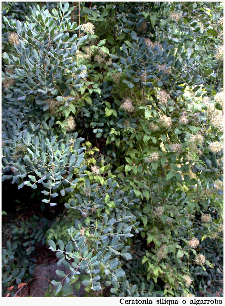 Ceratonia siliqua o algarrobo
