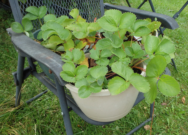 strawberry plants on a lawn chair